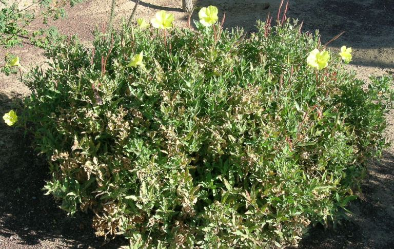 Organ Mountain evening primrose